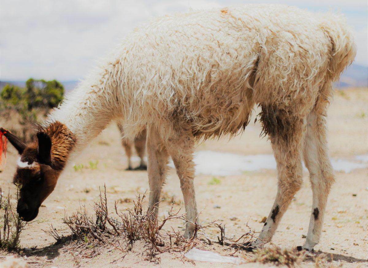 Los animales de los Andes por Horacio Guerra Marroquín